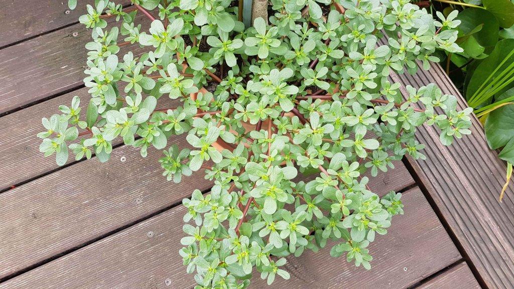 rosenkohl crispus kiepenkerl brassica oleracea var gemmifera g nstig online kaufen. Black Bedroom Furniture Sets. Home Design Ideas