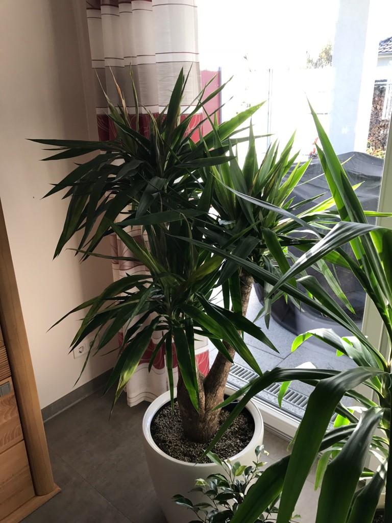 palmlilie yucca palme yucca filamentosa g nstig online kaufen. Black Bedroom Furniture Sets. Home Design Ideas