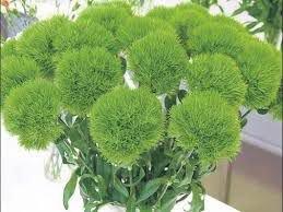 heidenelke roseus dianthus deltoides roseus g nstig online kaufen. Black Bedroom Furniture Sets. Home Design Ideas